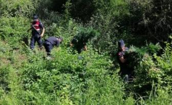 Muratlı'da Hint Keneviri Operasyonu
