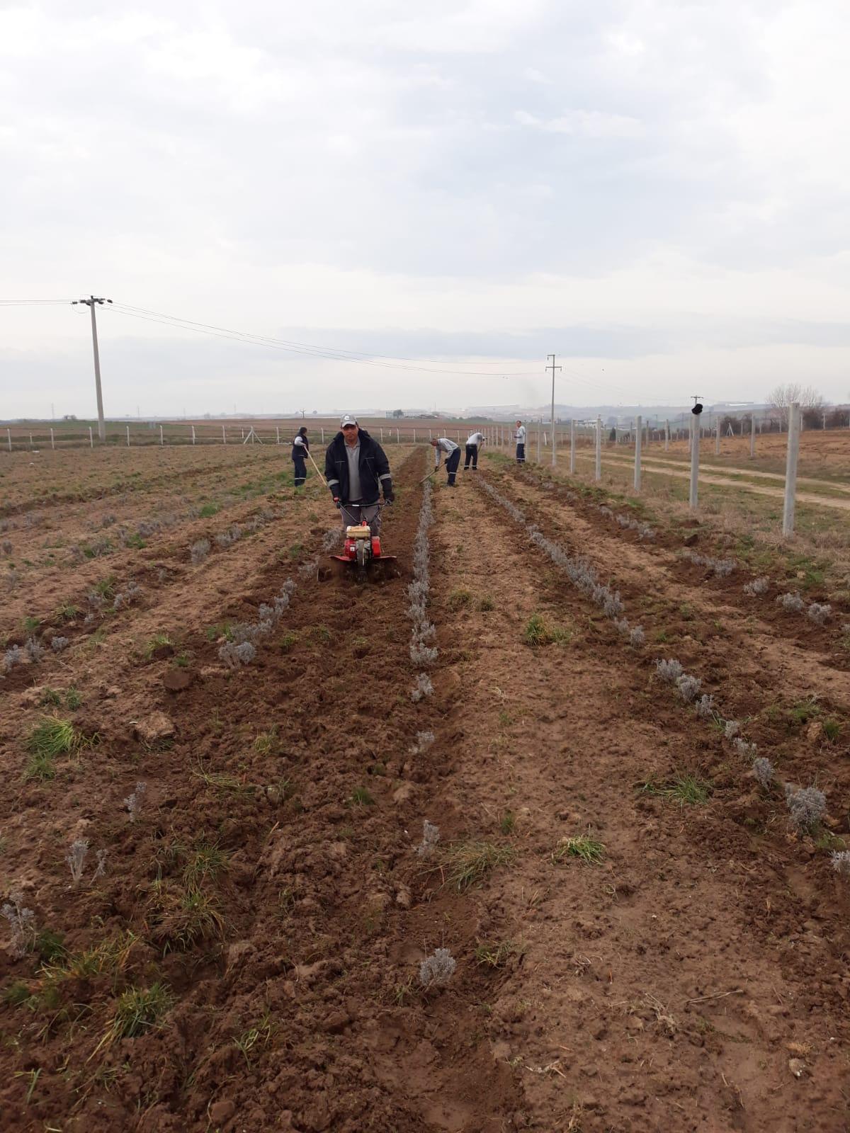 Ergene Belediyesi Lavanta Bahçelerine Çapalama Yapıldı